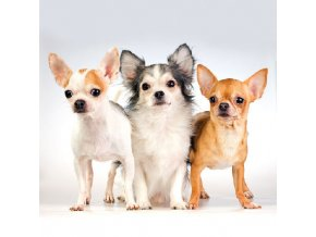 Napkin 33 Chihuahua